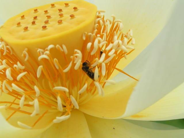 Fleur de lotus visitée