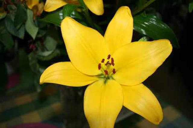 Fleur de lys jaune