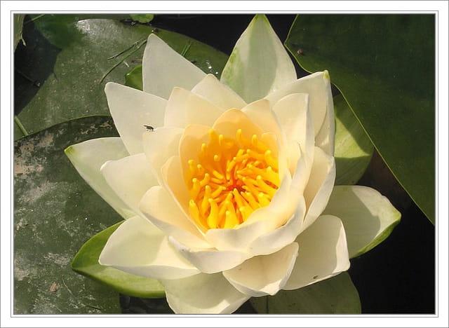 Coloriage Fleur De Nenuphar.Fleur De Nenuphar Par Jean Pierre Tolomio Sur L Internaute
