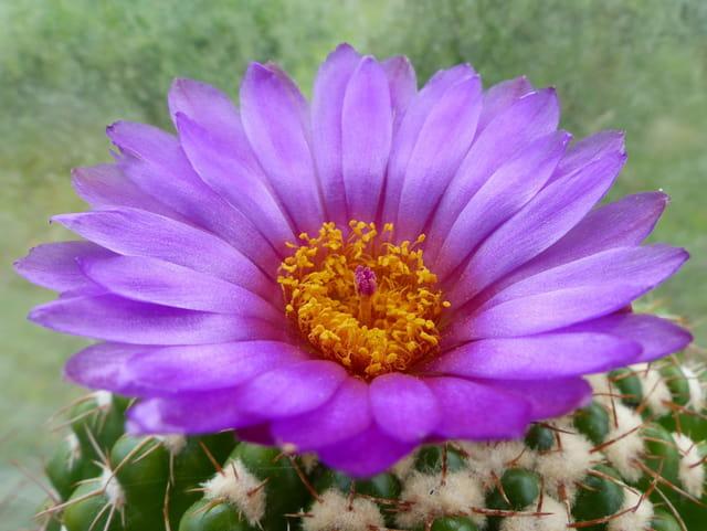 Fleur de parodia