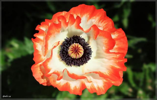 Fleur de pavots orange