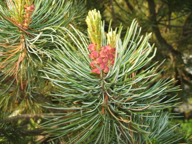 Fleur de pin