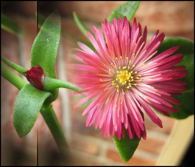fleur de plante grasse par francine ancel sur l 39 internaute. Black Bedroom Furniture Sets. Home Design Ideas