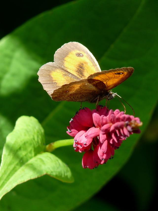 Fleur de polygonum et son amaryllis