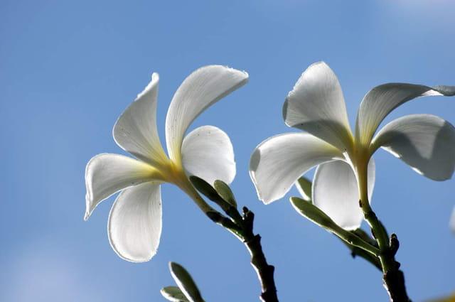fleur de polyn u00e9sie par monique poilpr u00c9 sur l u0026 39 internaute