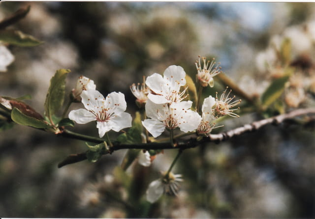 Fleur De Prunier Par Luc Rocheux Sur L Internaute