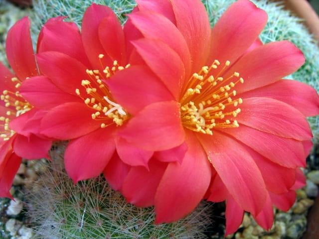 Fleur de rebutia