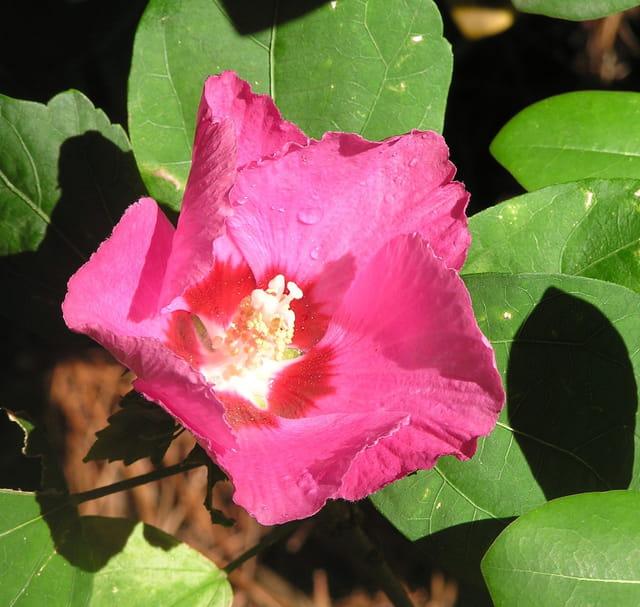 Fleur de rocaille, rouge
