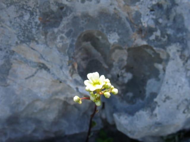 Fleur de roche