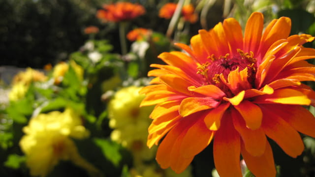 Fleur du Mont Royal