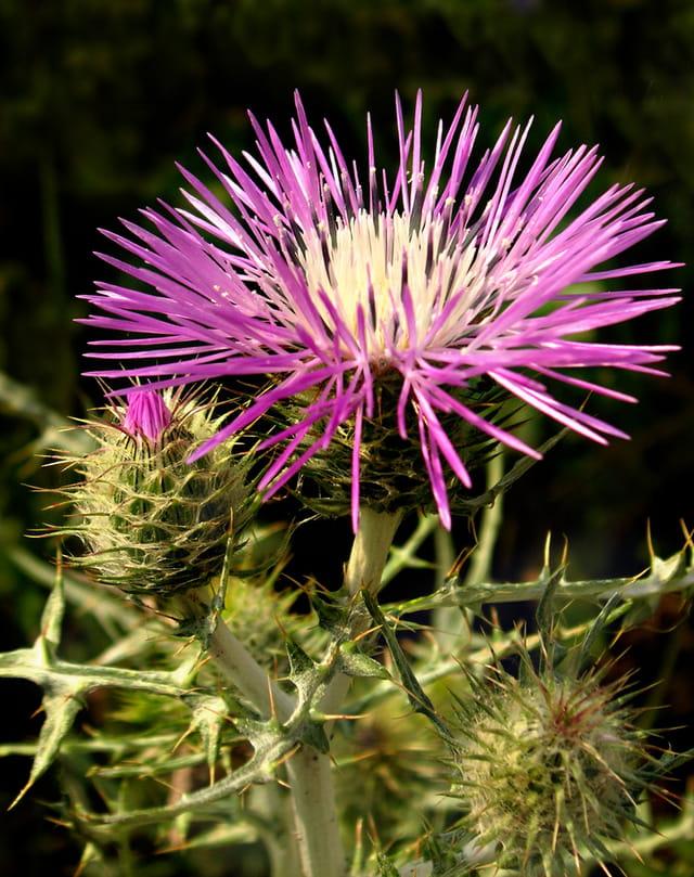 Fleur et boutons de chardon
