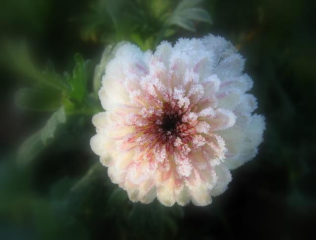 Fleur givrée
