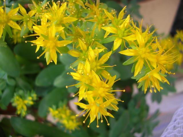 fleur jaune de plante grasse par evelyne alizant sur l. Black Bedroom Furniture Sets. Home Design Ideas
