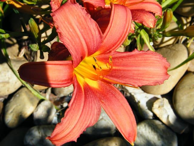 Fleur orangers