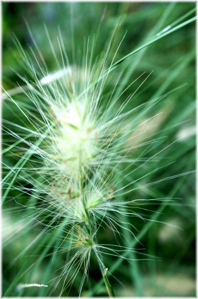 Fleur plume