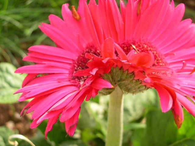 Fleur siamoise