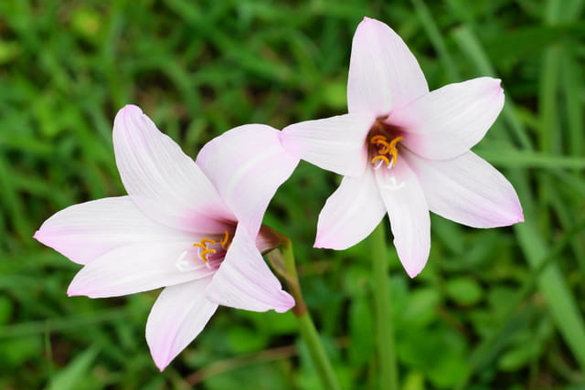 fleure de lys