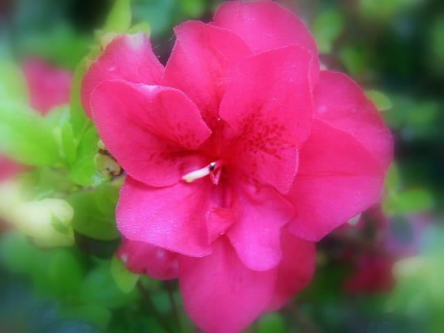 Fleuron d'azalée