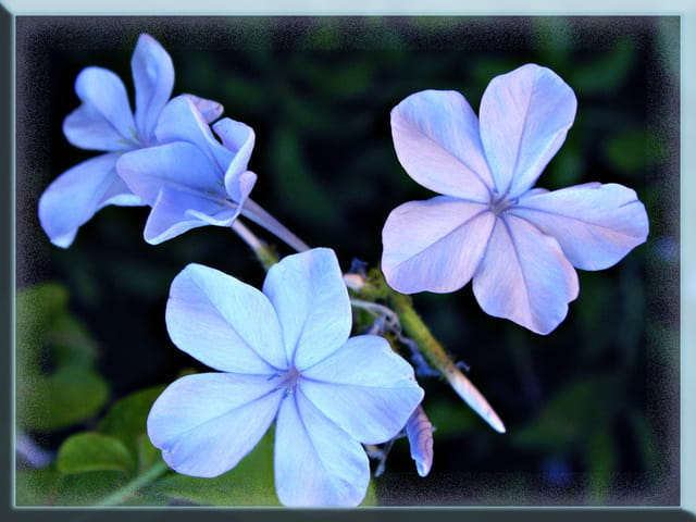 Fleurs  bleus