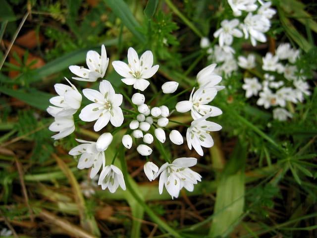 Fleurs d 39 ail sauvage par jean pierre marro sur l 39 internaute - Fleur ail des ours ...