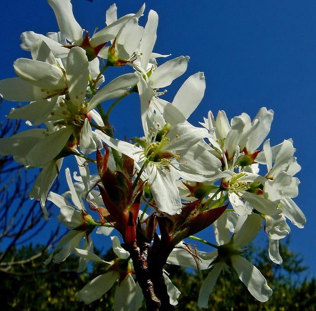 Fleurs d'Amélanchier...