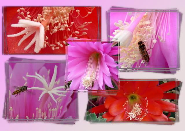 Fleurs d'épiphyllum