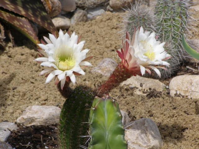 Fleurs de cactus ou Cactus en fleurs