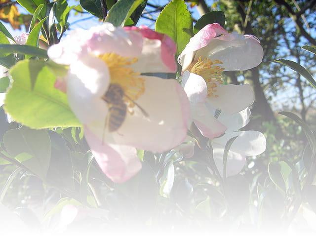 Fleurs de camélias visitées