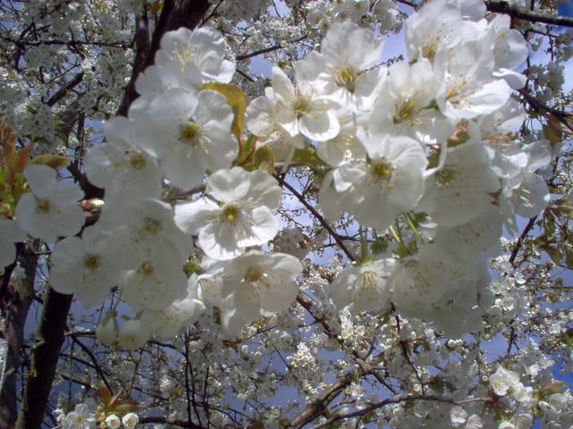 fleurs de cerisier par nathalie thierry sur l 39 internaute. Black Bedroom Furniture Sets. Home Design Ideas