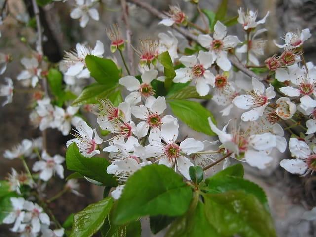 Fleurs de cerisier sauvage