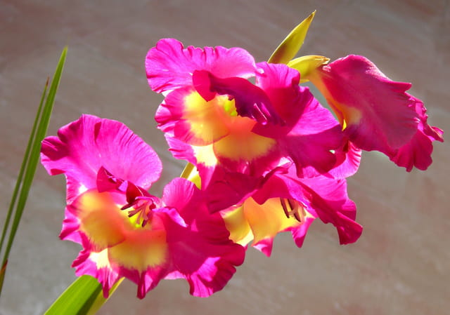 Fleurs de glaieul par Huguette Roman sur L'Internaute