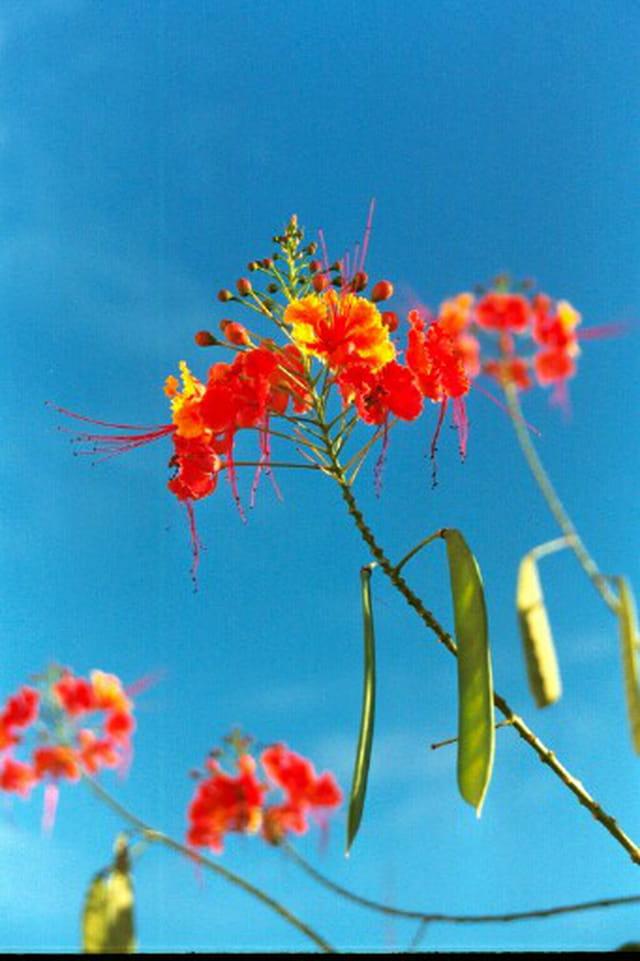 Fleurs de Guadeloupe