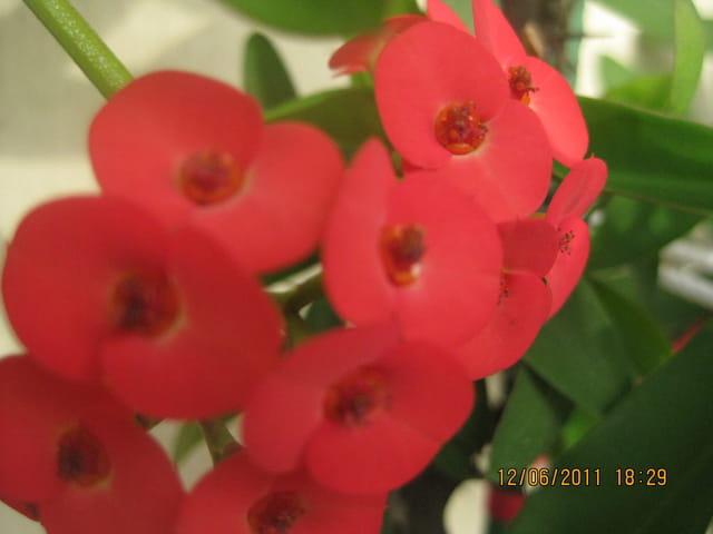 fleurs de l'épine du christ