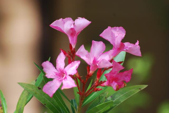 fleurs de laurier rose