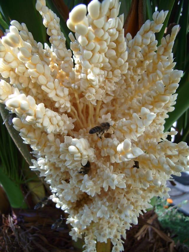 Fleurs de palmier