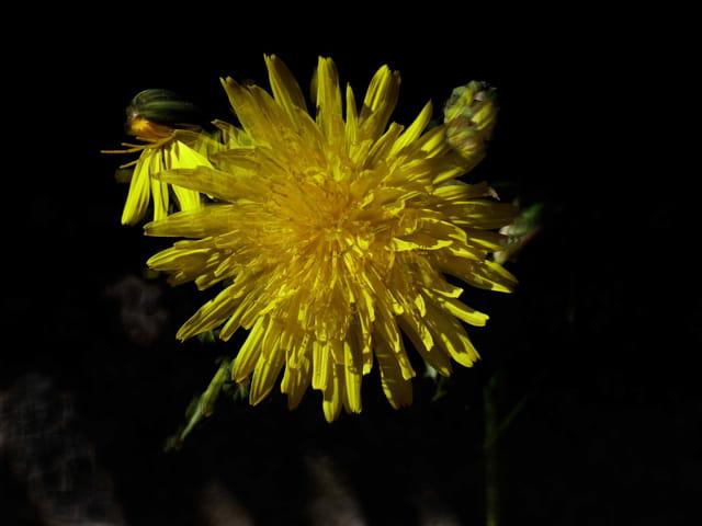 Fleurs de pissenlit