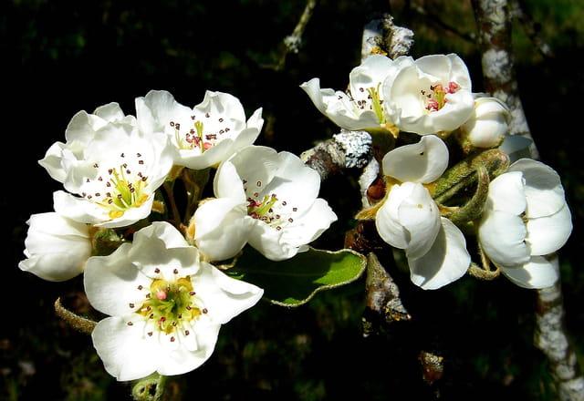 Fleurs de poirier...