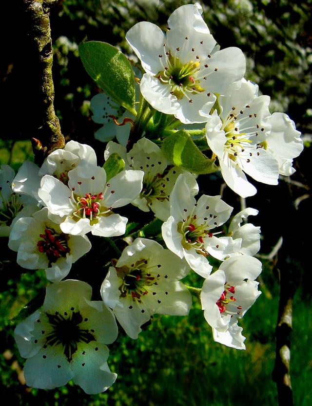 Fleurs de poirier (2)