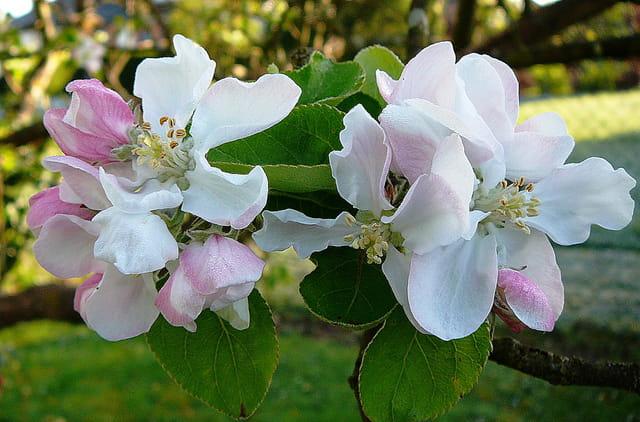 Fleurs de pommier de Normandie recouvertes d'une petite rosée givrante