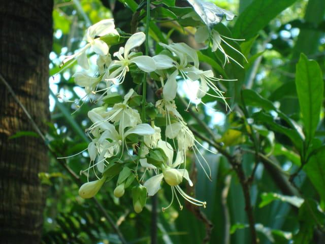 Fleurs de vanille