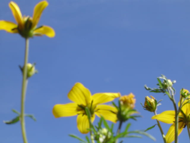 Fleurs jaunes et ciel bleu