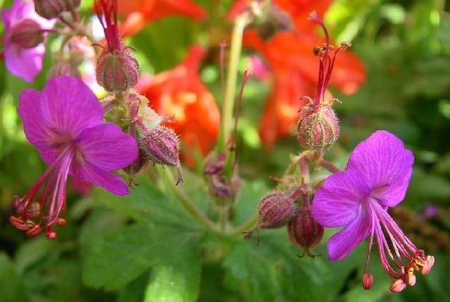Fleurs jumelles