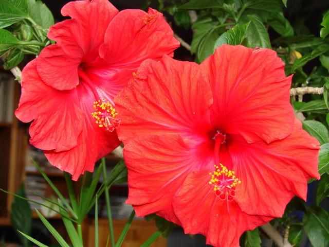 Fleurs  jumelles  d'hibiscus