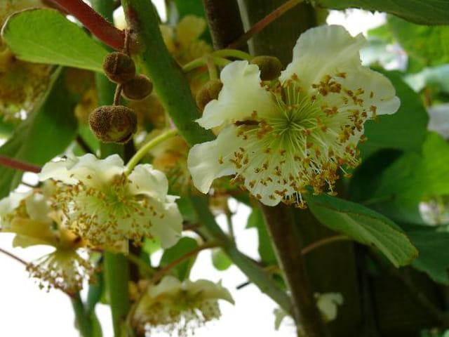 Fleurs male du kiwi
