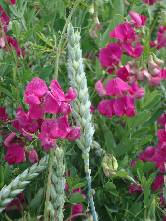 fleurs sauvages des champs et des montagnes