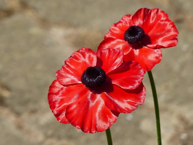 Fleurs simples de renoncules