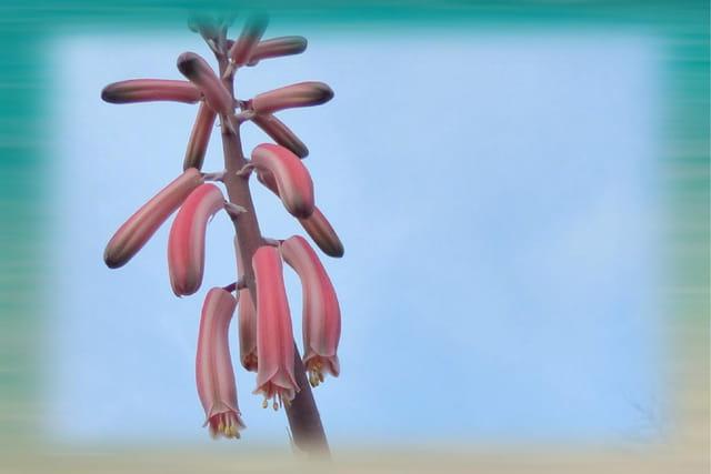 Floraison d'aloé