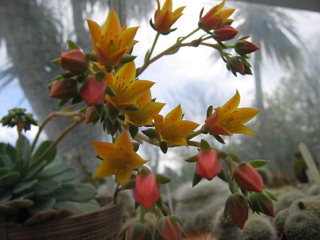 Floraison d'écheveria