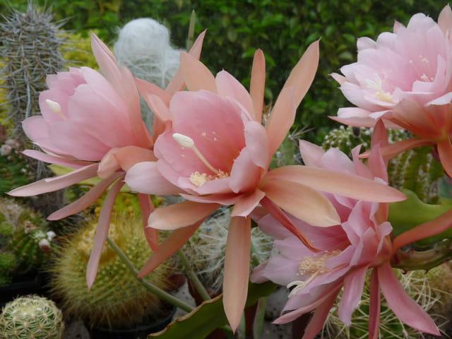 Floraison d'épiphyllum