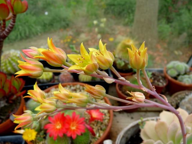Floraison de cactées et succulentes